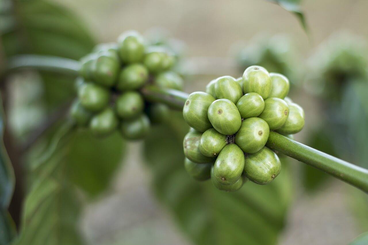 Kawa zielona - właściwości